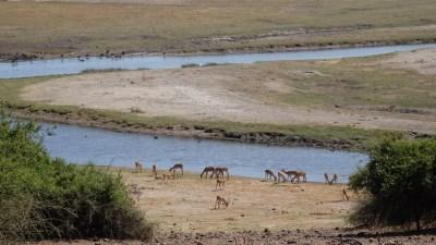 Impalas au bord de la rivière du parc national de Chobe - Botswana