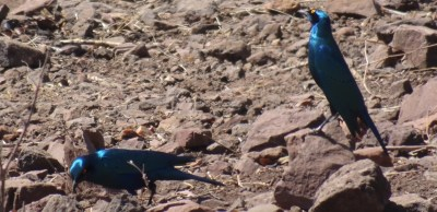 Greater blue-eared starling du parc national de Chobe - Botswana