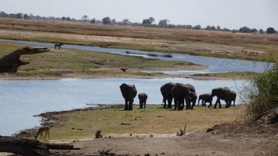 Eléphants au bord de la rivière du parc national de Chobe - Botswana