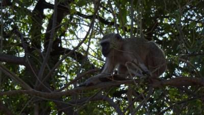 Vervets au campsite de Muchenje - Botswana