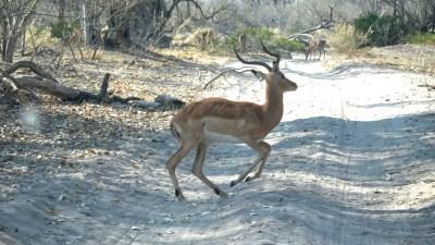 Impalas - Réserve de Moremi (Botswana)