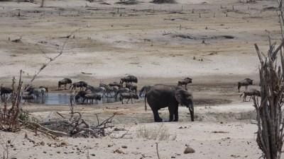 Elephants - Gnous - Zèbres dans la Rivière Boteti (Botswana)