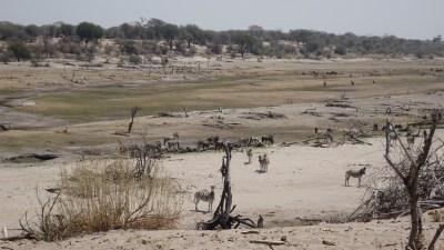 La faune dans la Rivière Boteti (Botswana)