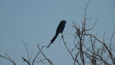 Fork-Tailed drongo - Rivière Boteti (Botswana)