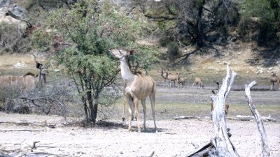 Kudus - Rivière Boteti (Botswana)