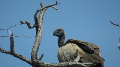Vautour - Rivière Boteti (Botswana)