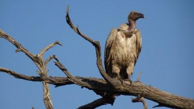 Vautour - Makgadikgadi NP (Botswana)