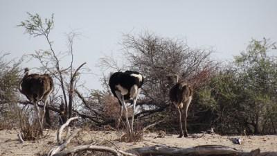 Autruches - Makgadikgadi NP (Botswana)