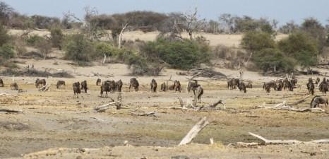 Gnous - Rivière Boteti - Makgadikgadi NP (Botswana)