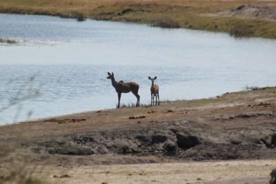 Kudus dans le parc national de Chobe - Botswana