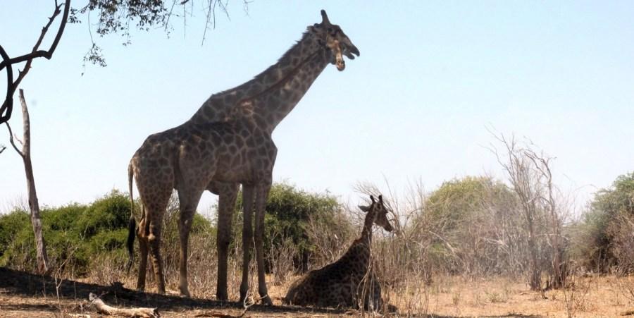Girafes dans le parc national de Chobe - Botswana