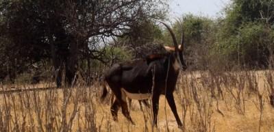 Antilopes noires dans le parc national de Chobe - Botswana