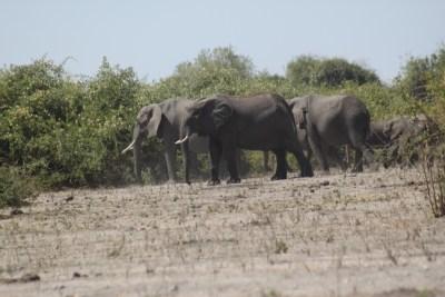 Eléphants dans le parc national de Chobe - Botswana