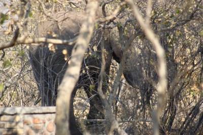 Eléphant dans le campsite - Botswana