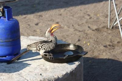 Red billed hornbill - Botswana