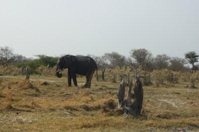 éléphant - Réserve de Moremi (Botswana)