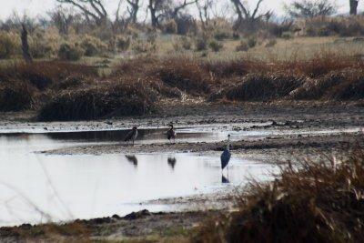 Oiseaux et canards - Réserve de Moremi (Botswana)