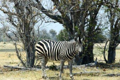 Zèbre - Réserve de Moremi (Botswana)