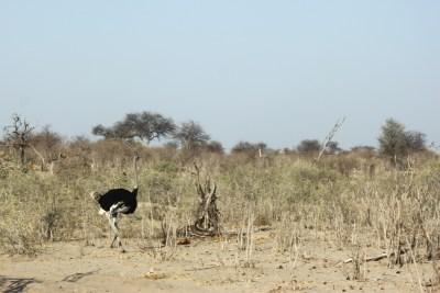 Autruche - Makgadikgadi NP (Botswana)