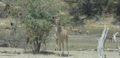 Kudus dans la rivière Boteti - Botswana