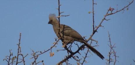 Grey go-away-bird - Rivière Boteti - Makgadikgadi NP (Botswana)