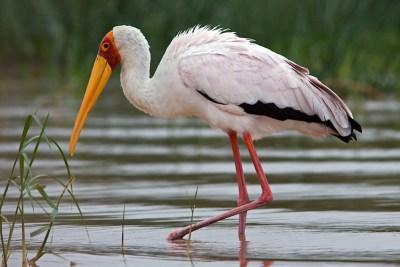 Tantale Ibis - Réserve de Moremi (Botswana)