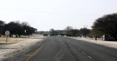 Vaches sur la route entre Maun et Motopi - Botswana