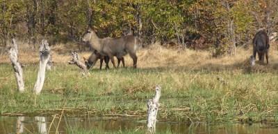 Waterbucks au bord de la rivière Khwai - Botswana
