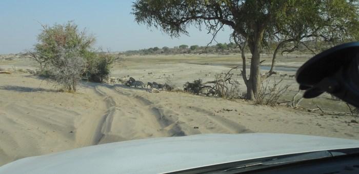 Zèbres dans la rivière Boteti - Makgadikgadi NP (Botswana)