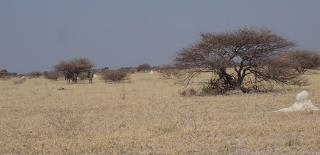 Zèbres et termitières - Nxai Pan NP (Botswana)