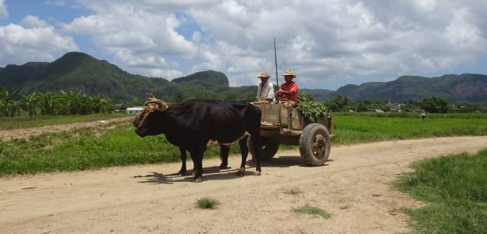 Charrette et boeufs à Vinales - Cuba