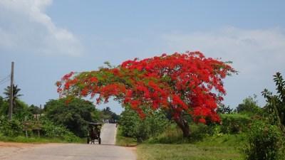 Flamboyant dans la vallée de Vinales - Cuba