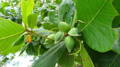 Terminalia catappa (Amandier indien) - Plage de Boca de Galafre - Cuba