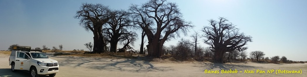 Baines Baobab - Nxai Pan NP (Botswana)