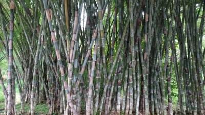 Au jardin botanique de Cienfuegos - Cuba