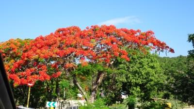 des flamboyants sur l'autouroute entre Trinidad et La Havane - Cuba