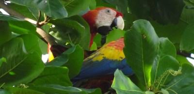 2 aras à Tarcoles - Costa Rica