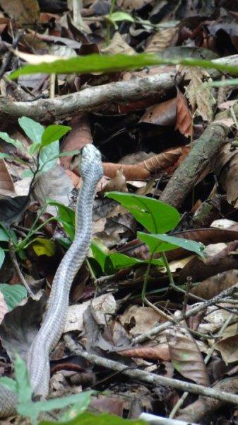 Un serpent dans la forêt tropicale du parc National Carara - Costa Rica
