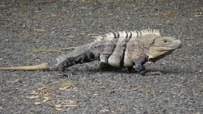 Un iguane au parc National Carara - Costa Rica
