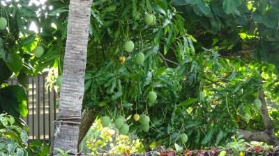 Les manguiers du jardin - El Roble (Costa Rica)