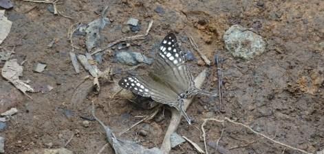 Papillon dans le parc du volcan Tenorio - Costa Rica