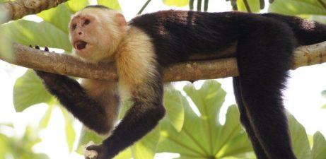 Singe capucin - Caldera (Costa Rica)