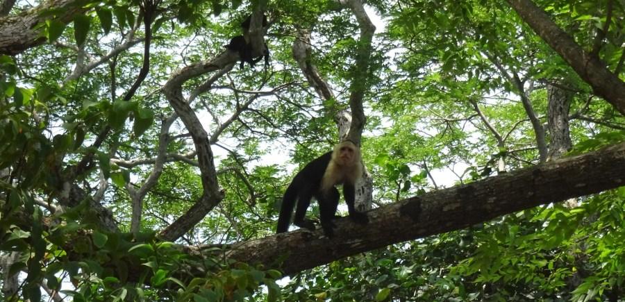 Singe capucin - Puerto Caldera (Costa Rica)
