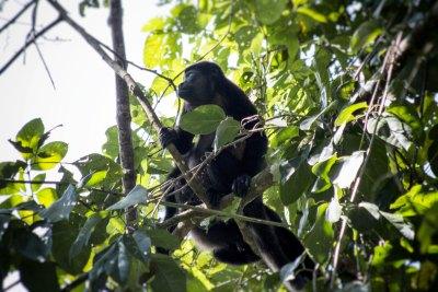 Singe-hurleur - Parc National Carara (Costa Rica)