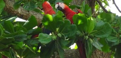 Un couple d'aras à Tarcoles - Costa Rica