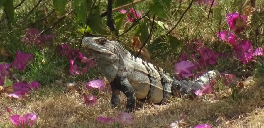 Un iguane dans le jardin - El Roble (Costa Rica)