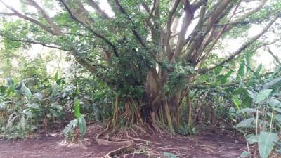 Dans la forêt tropicale du parc Arenal - Costa Rica