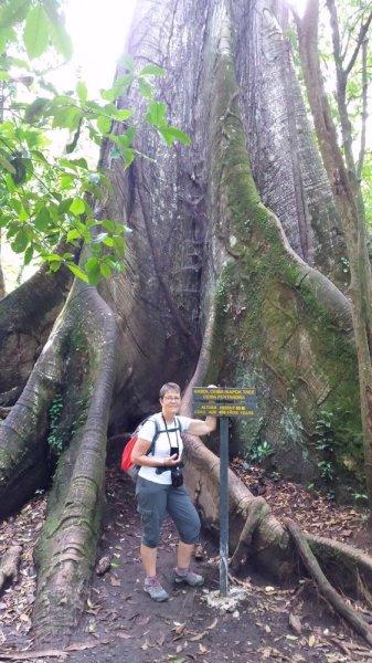 Devant l'immense arbre à kapok - Costa Rica