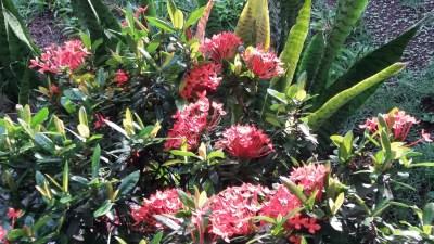 Les fleurs du jardin d'El Roble - Costa Rica