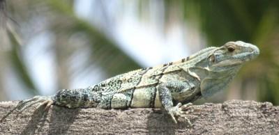 Un iguane vert dans notre jardin d'El Roble - Costa Rica